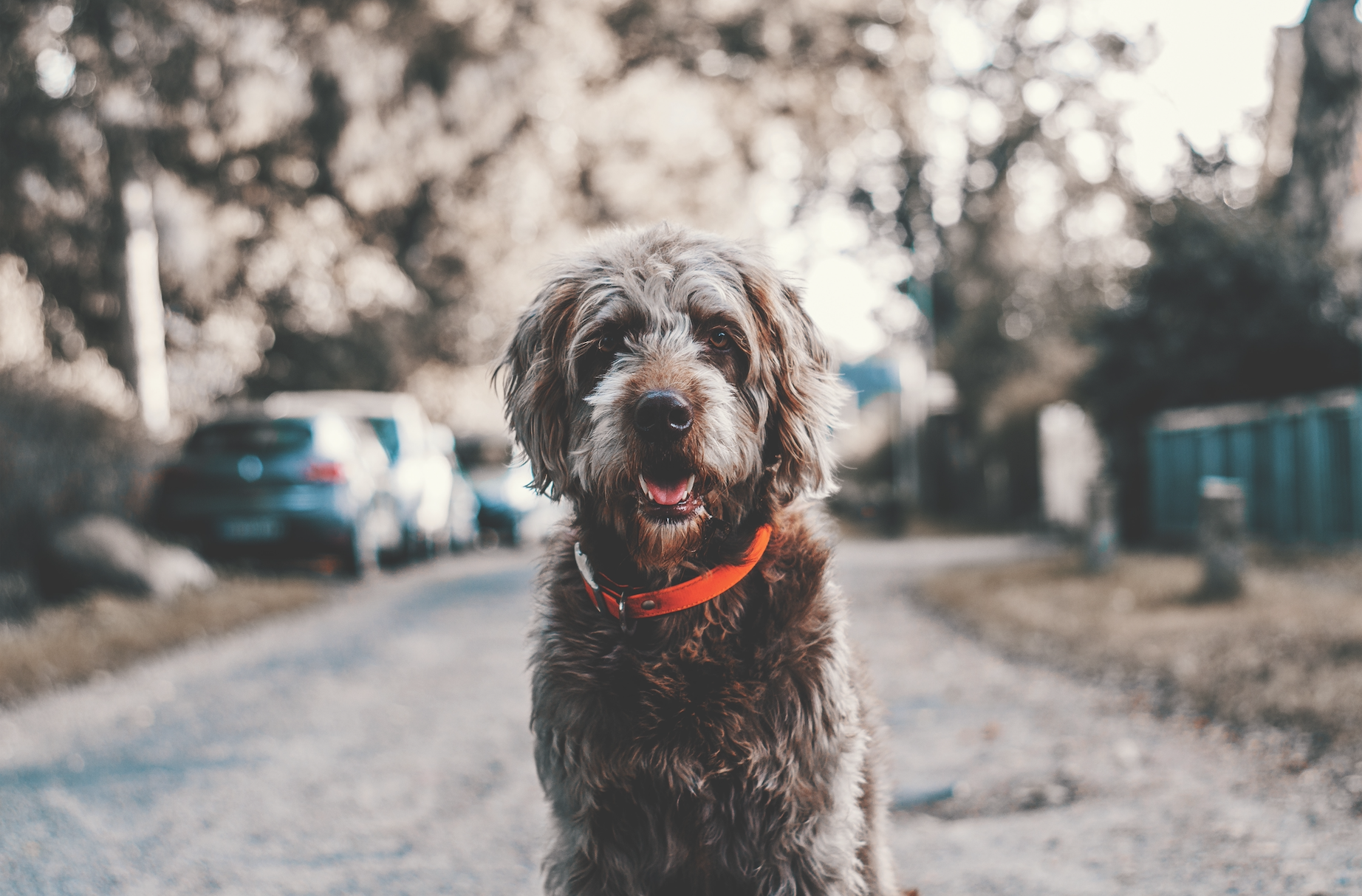 Can a Wireless Dog Fence Keep Your Pup Safe?