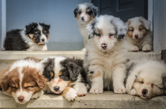 What to Consider Before Buying a Dog Of A Rare Breed
