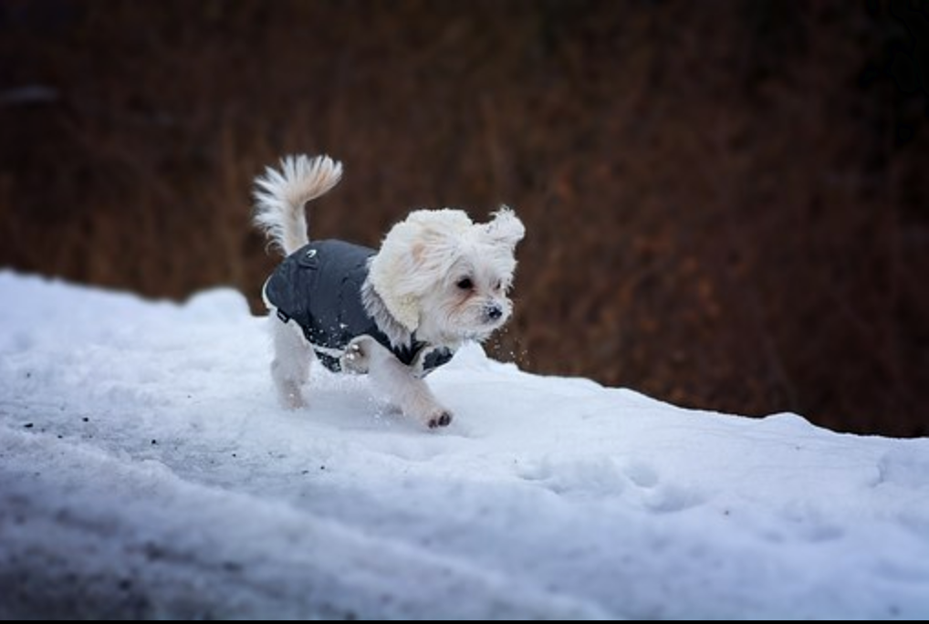 Turn on the Warmth: How to Introduce Your Dog to a Winter Jacket