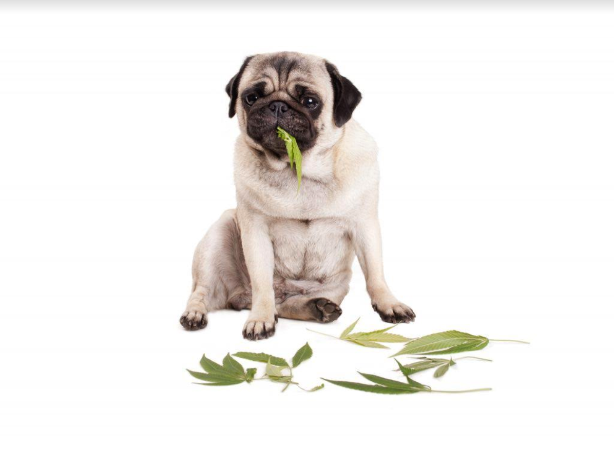 Important things that every individual should consider before using CBD for pets