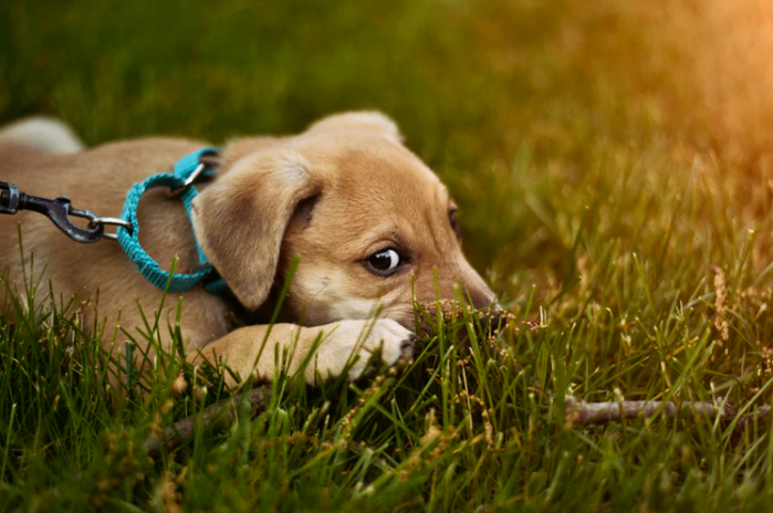 7 Tricks to Train Your Dog to Walk with Harness