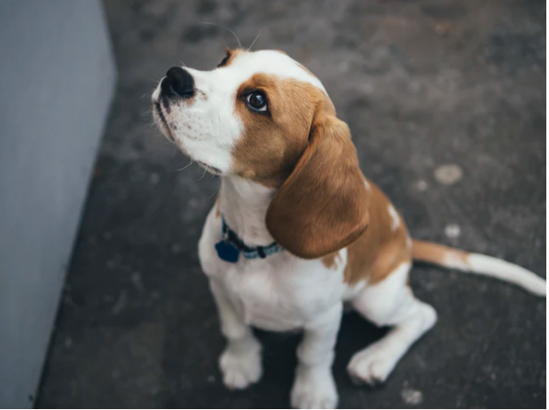 How to Put on A Collar on Your Beagle