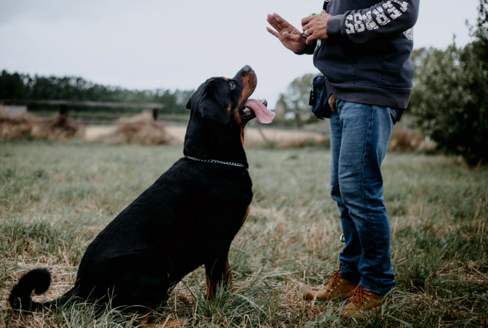 Everything You Need to Know About Service Dog Training