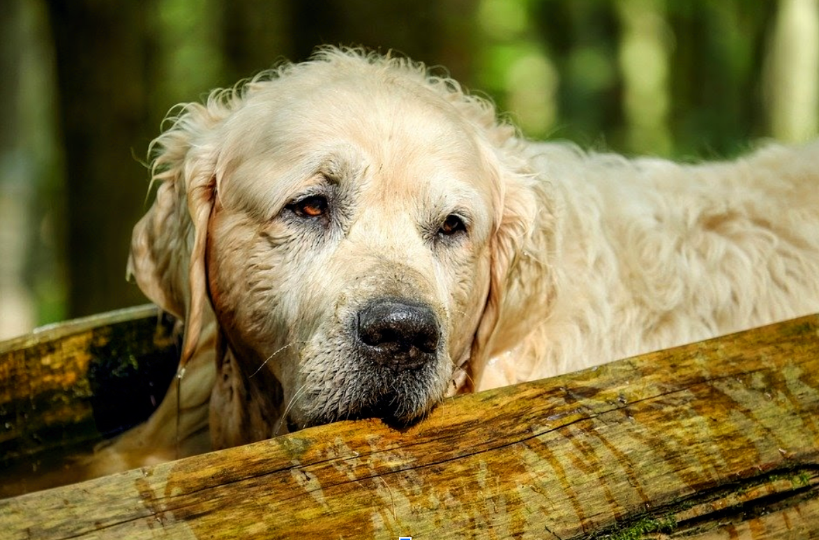 How Can CBD Help Your Old Dog?