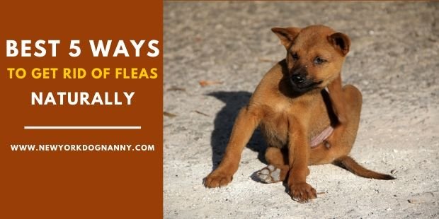 Best 5 Ways To Get Rid Of Fleas On Dogs Naturally