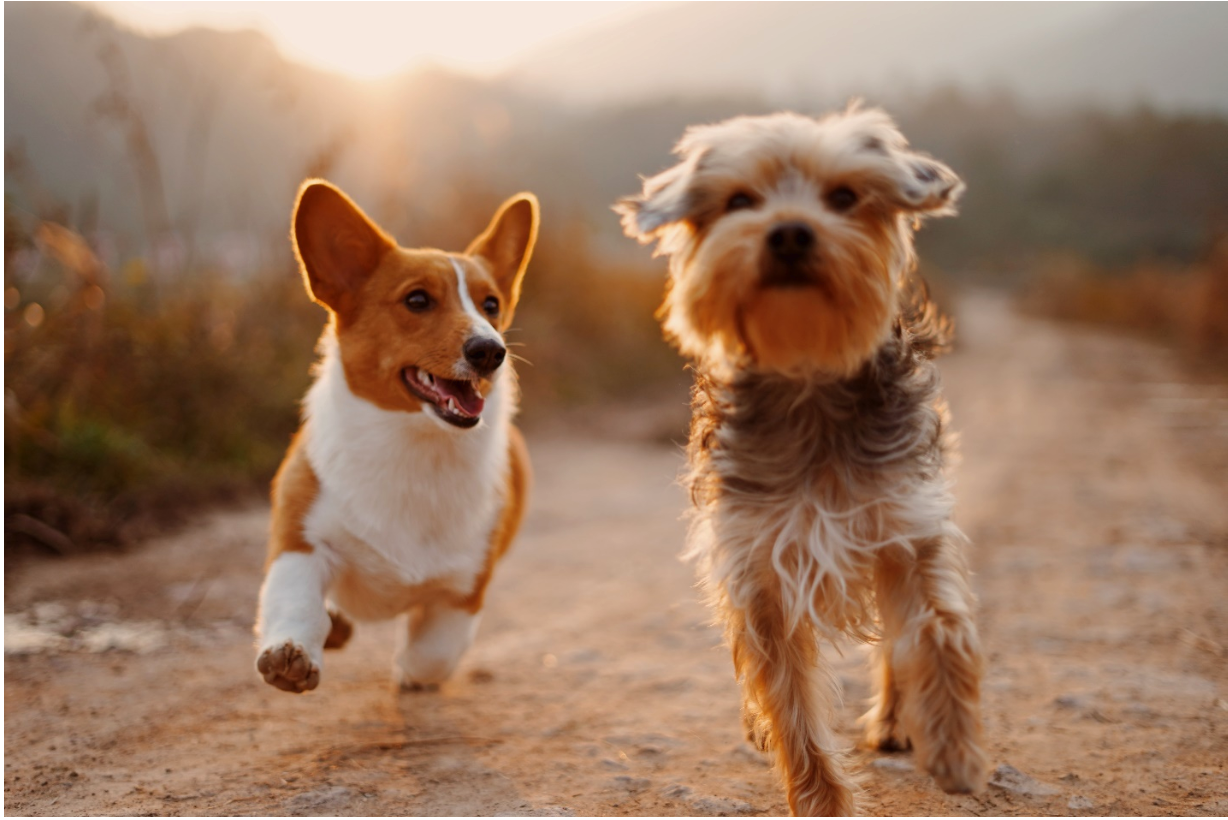Two Dogs: Advantage or Danger? Make Sure to Notice the Behavior Patterns