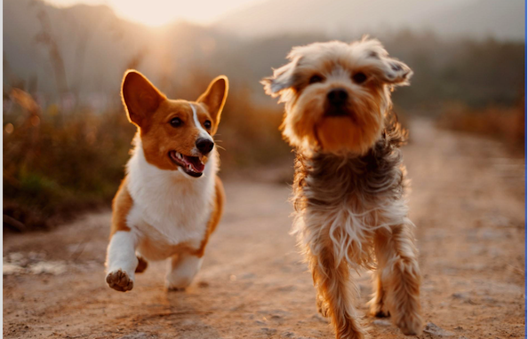 Can Cannabis Be Substituted as a Home Remedy For Pets?