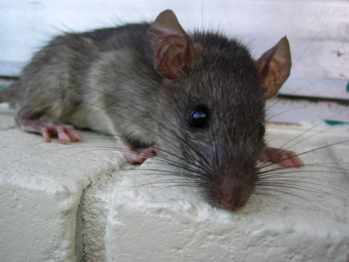 Will Dogs Attack Rodents?