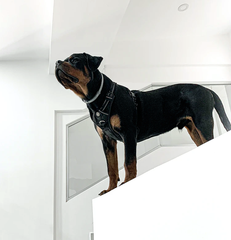 The Loyalty and Love of a Rottweiler