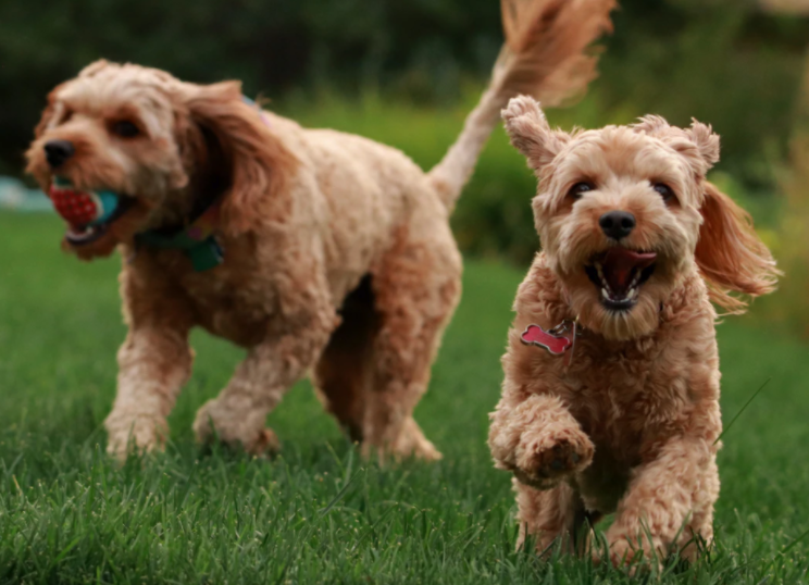 Is a Goldendoodle a Good Dog?