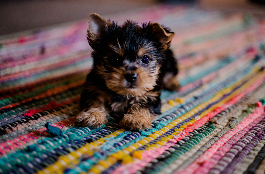 What to Consider When Getting a New Pet Dog