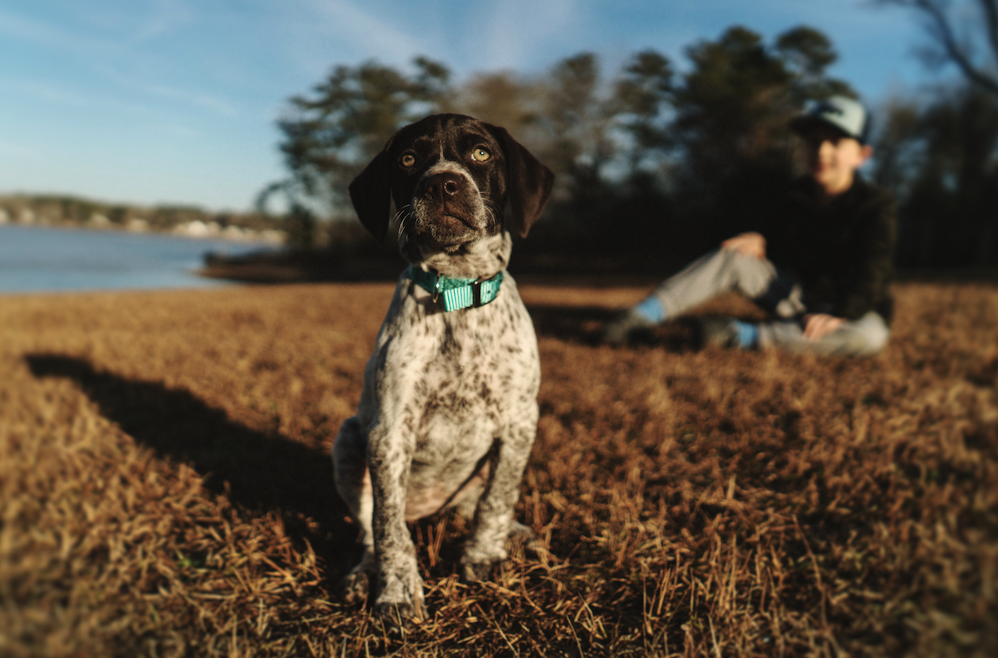 Everything You Need To Know About German Shorthaired Pointers