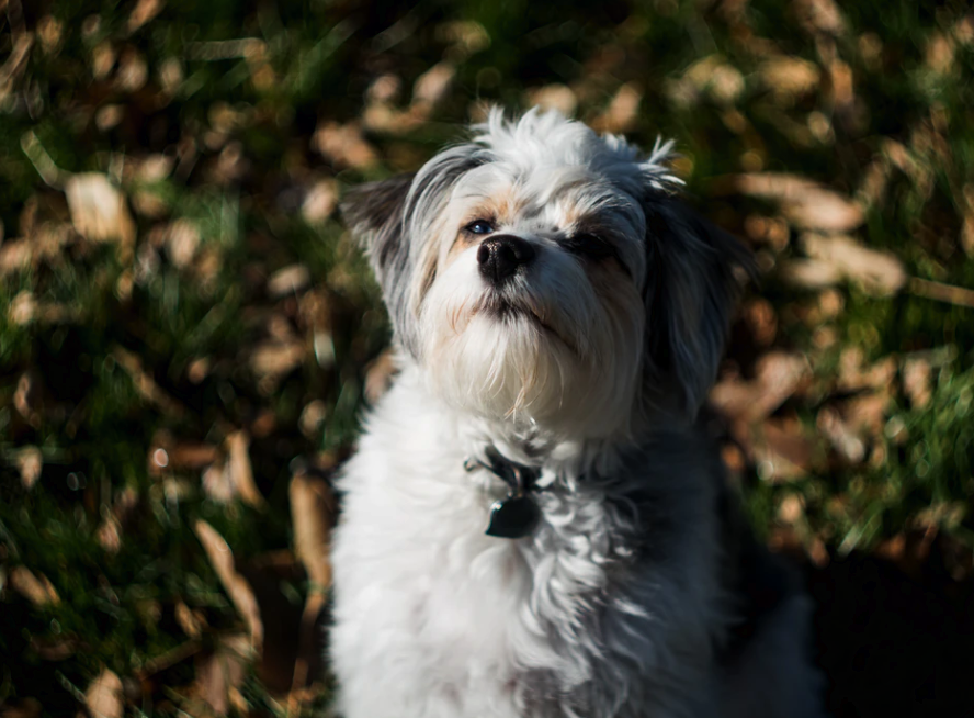 10 Things To Consider Before Getting An Aussiedoodle