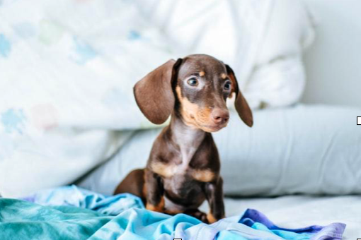 Wire, Smooth, And Long-Haired Dachshunds: Three Looks For A Purebred