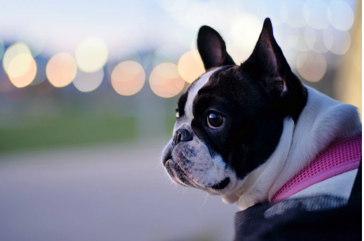 6 Interesting Facts to Read about Frenchies (French Bull Dogs)