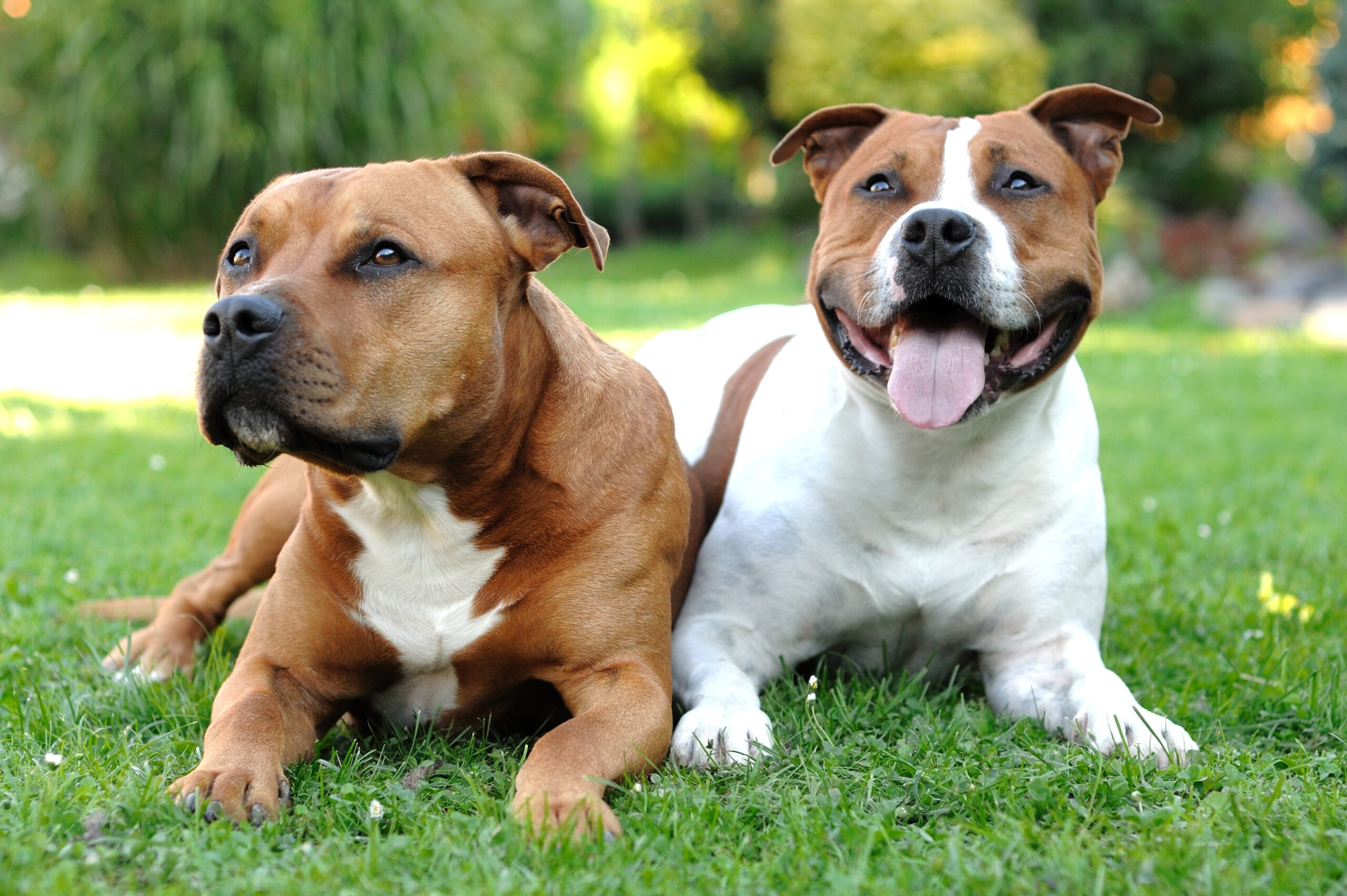 How To Raise A Happy And Healthy American Staffordshire Terrier