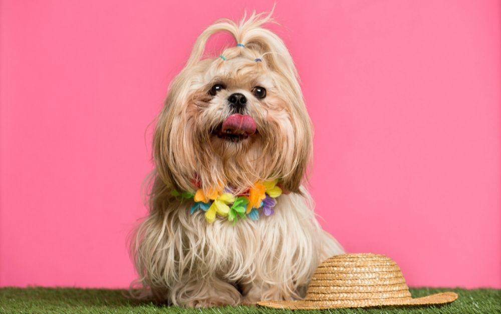 How to Raise Shih Tzu Puppy: 11 Best Tips in 2021
