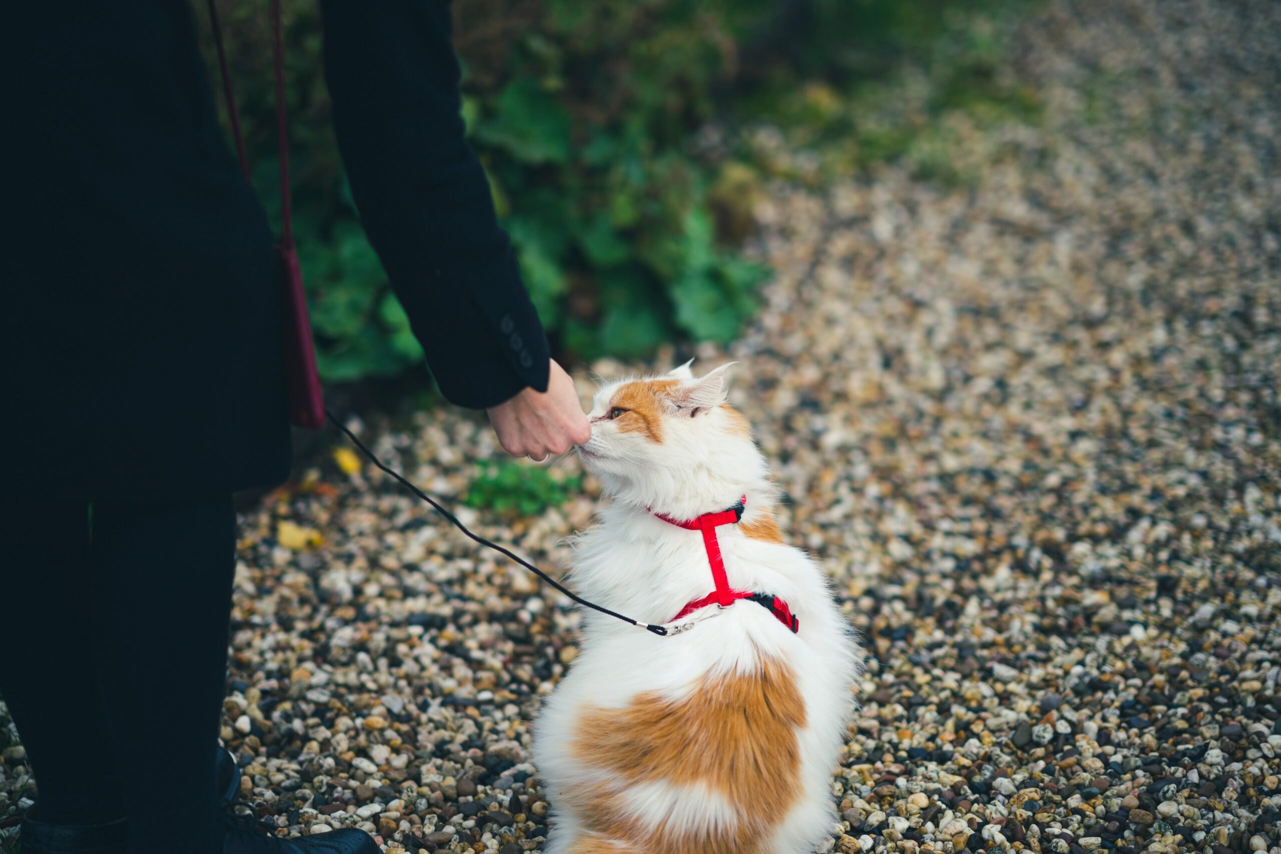Why Do You Need an Escape Proof Cat Harness and How to Buy One?
