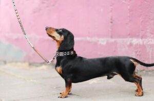 A small black dachshund on a leash looking up