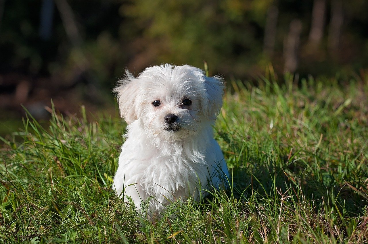 Everything You Need To Know About Maltese Dog Breed