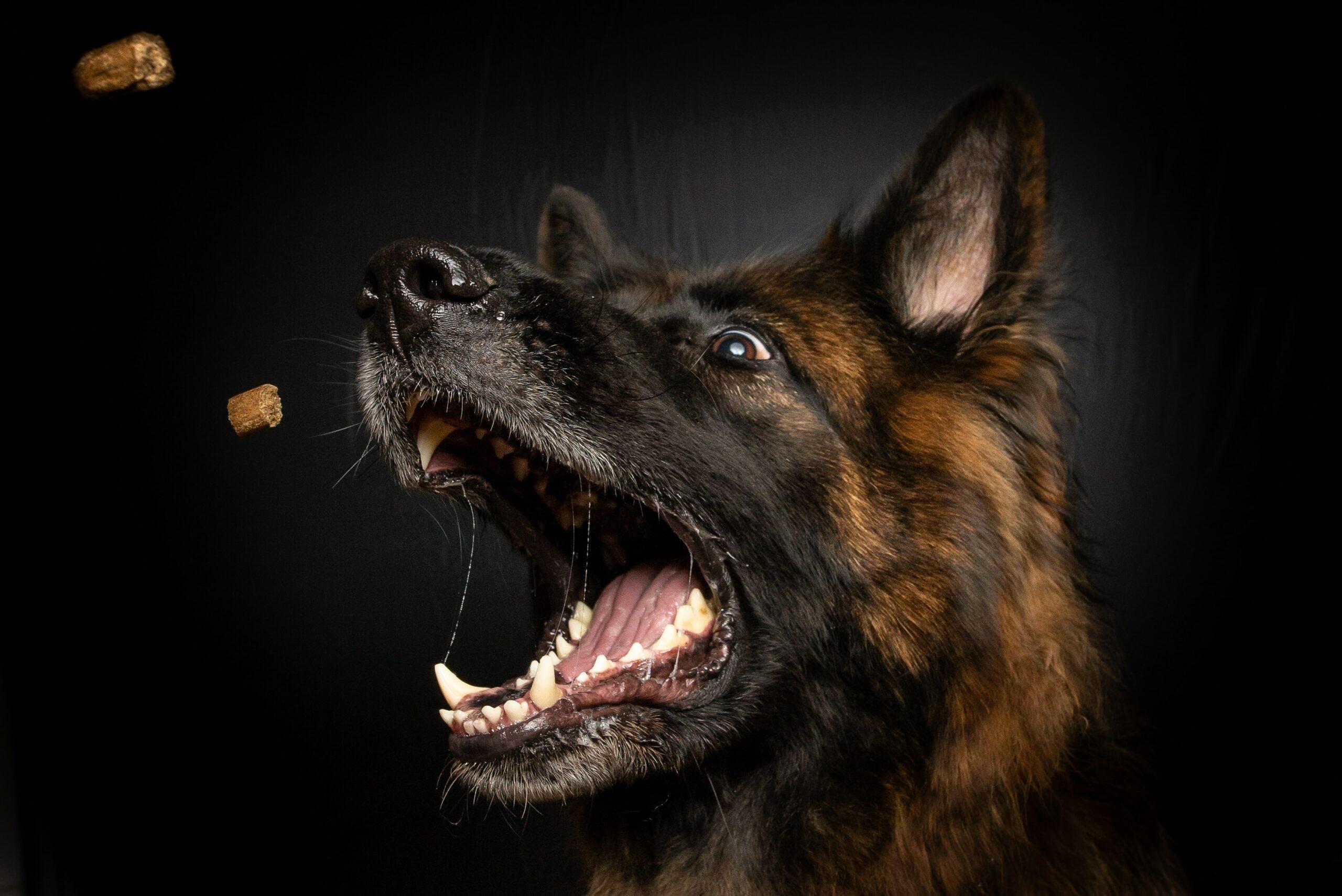 How Much Should a German Shepherd eat?